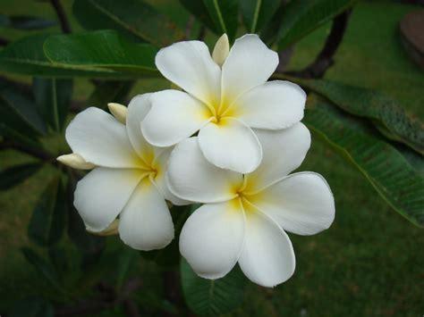 tiare fiore panoramio photo of tahitian tiare