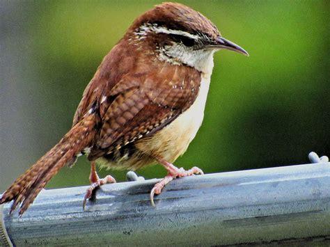 backyard birding magazine carolina wren birdwatching