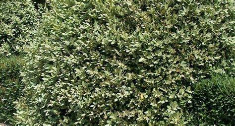 siepi sempreverdi da vaso piante per siepi sempreverdi siepi caratteristiche