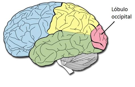 tu cerebro y la mã âºsica no ficcion edition books im 225 genes de cerebro para colorear imagui