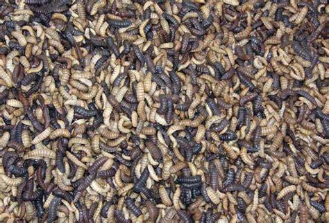 Pakan Alami Larva Ikan maggot pakan alami ikan protein tinggi bebeja
