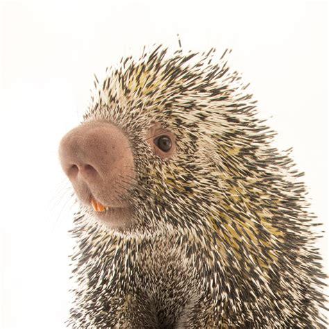 porcupine diagram porcupines national geographic
