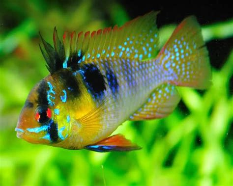 ram fish german blue ram cichlid beautiful cichlids
