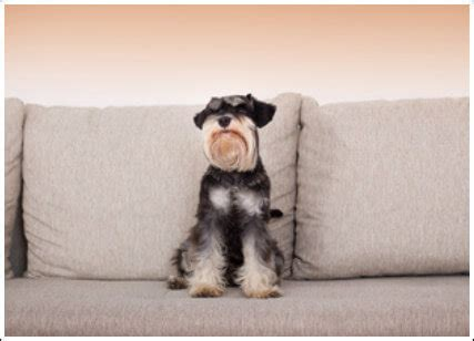 how to stop dog jumping on sofa how to stop a miniature schnauzer puppy jumping on furniture
