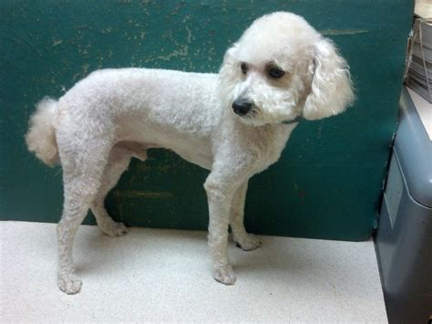 different styles of hair cuts for poodles different poodle haircuts different standard poodle cuts