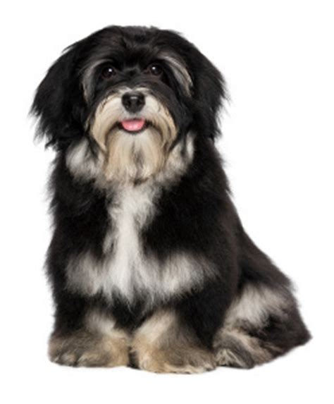 havanese do they shed dogs that do not shed
