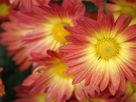 pink bright yellow flower color  wallpaperscom