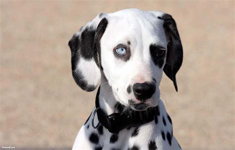 are all puppies born with blue dalmatian pictures pics images and photos for inspiration