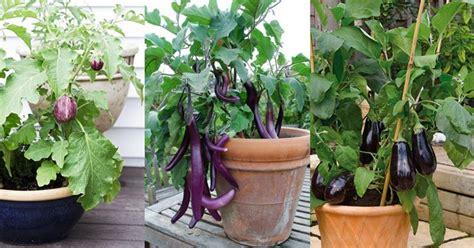 come coltivare le in vaso come coltivare le melanzane in vaso sul balcone orto in