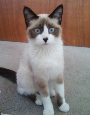 do cats see colors different type of cats siamese siamese cat and cat