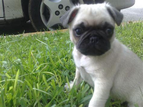 perros pug bebes beb 233 s con perros pug imagui