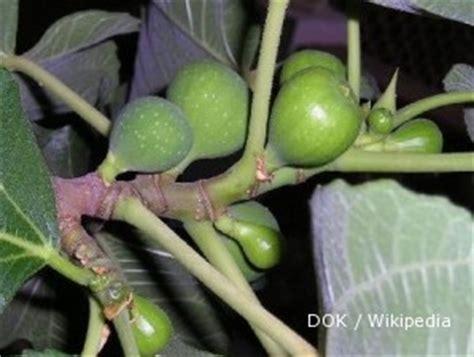 Bibit Buah Tin Karawang budidaya pohon ara si pohon kehidupan 1