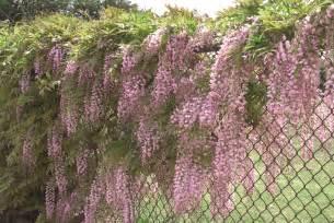 Wisteria growing wisteria sloat garden center