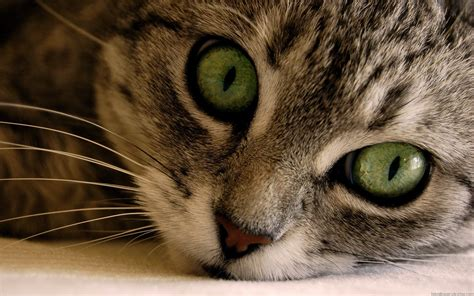 kitten wallpaper for pc cats wallpaper kitten wallpaper hd widescreen desktop