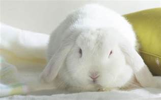 are bunnies color blind lapin