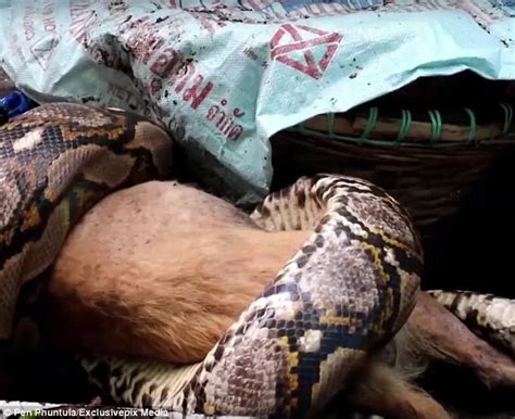 T Heard Back After Background Check Thailand Owner Discovers Pet Being Eaten By A Python And Is Unable To Save It