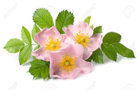 lade di sale controindicazioni rosa canina rosa canina flowers mondays