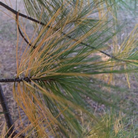 Pine Tree Shedding Needles by Why Your Evergreens Lose Needles In The Fall Baxter Gardens