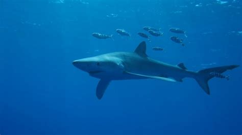 baby shark central park baby shark hangout discovered off the azores fox news