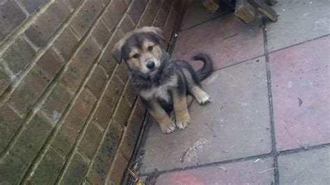 german shepherd malamute mix puppies alaskan malamute german shepherd mix puppies breeds picture