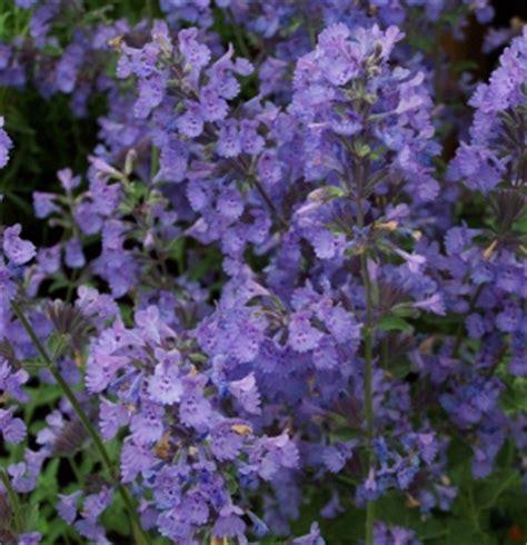 deer resistant perennials sun mike s garden top 5 plants