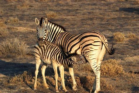 imagenes de animales cebra animales contentos las cebras