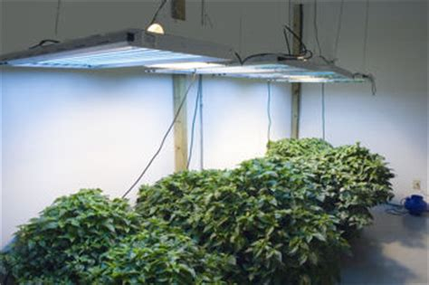 plants that grow in fluorescent light fluorescent lights for plant growth green spot