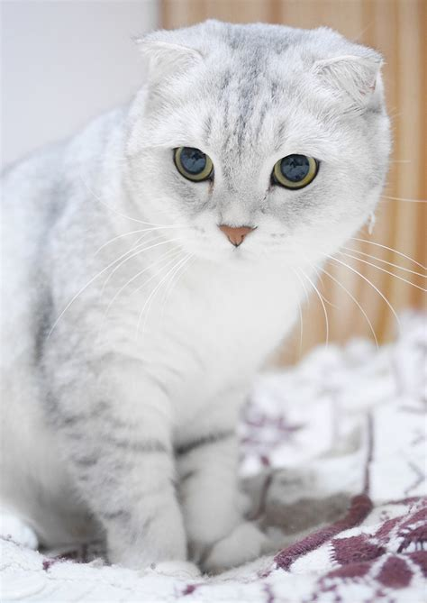 Scottish Fold Cats: A Complete Guide   The Happy Cat Site
