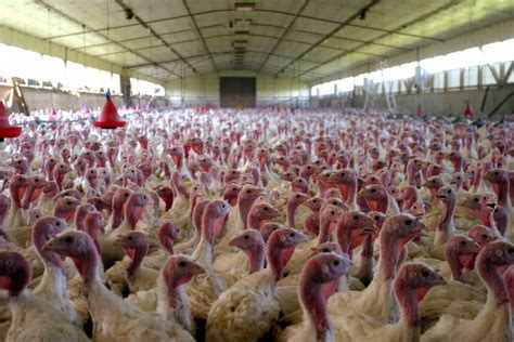 Küche Und Bad Factory Ta by Breed Savers Beltsville Small White Turkeys