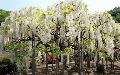 Tanaman Hias Floribunda White image gallery white wisteria