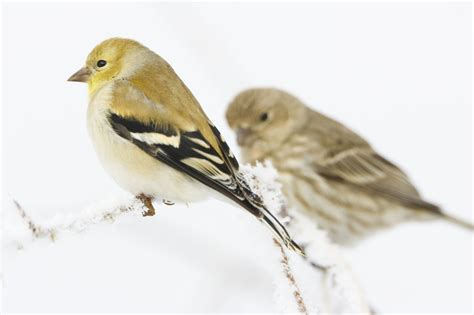 male american goldfinch and female house finch in winter