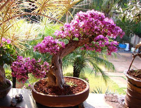 bouganville vaso jardim da terra como cultivar bougainville em vasos