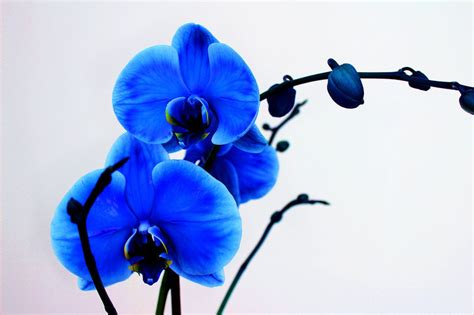 Orchids In A Vase Blue Orchid Wallpaper Wallpapersafari