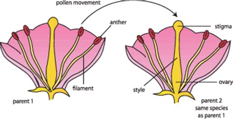 pollination diagram image gallery self pollination diagram