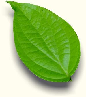 Daun Meniran Segar Per Batang biologi daun