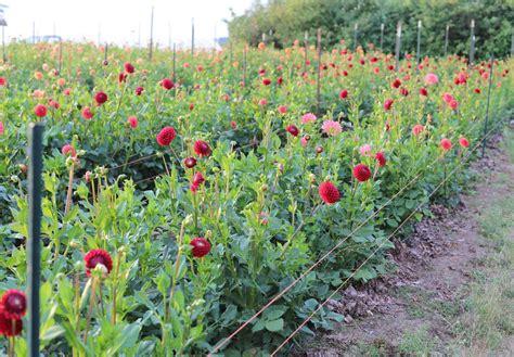 how to grow dahlias floret flowers