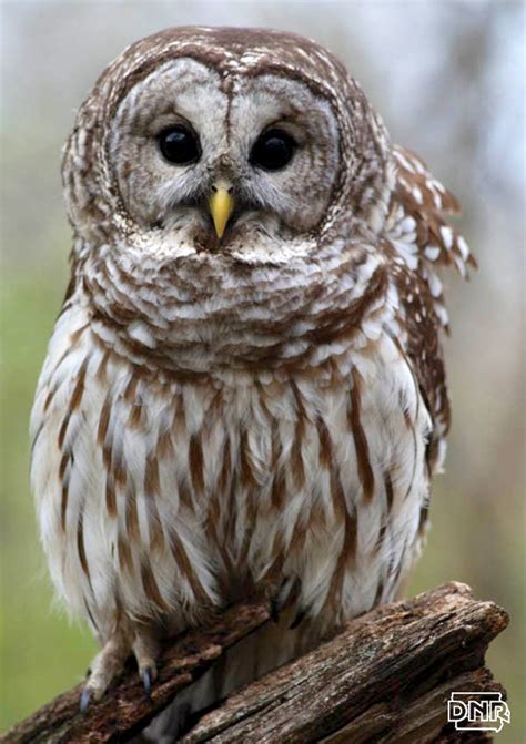 iowa owl identification guide dnr news releases