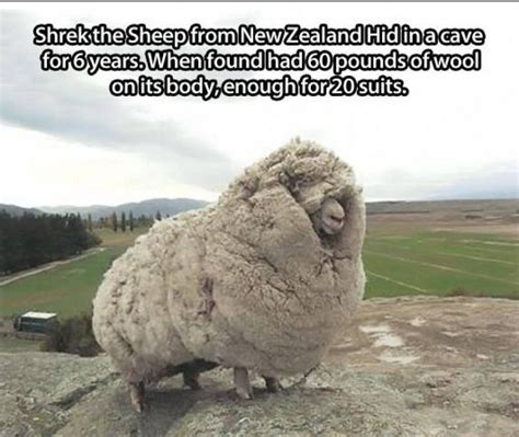 new year sheep phrases quotes about bad beard quotesgram