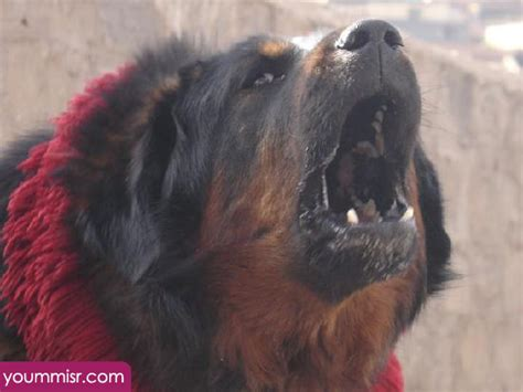are rottweilers dangerous dogs dangerous dogs rottweiler breeds picture