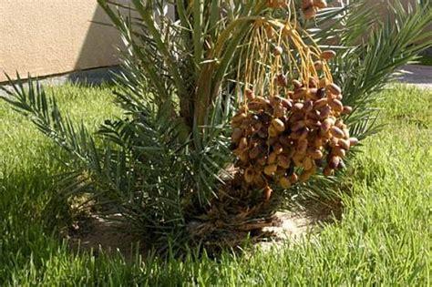 Bibit Pohon Kurma menanam pohon kurma dari biji goresan pena
