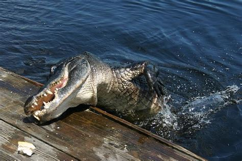 everglades airboat tours tiger buffalo tiger s florida everglades airboat tours