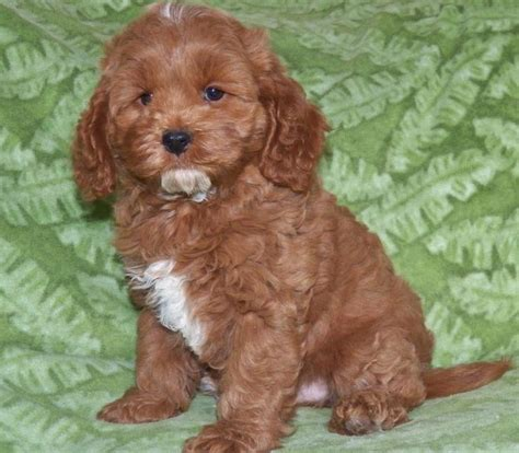 cockapoo puppies indiana cockapoo premium cockapoo puppies for sale we are in indiana and to