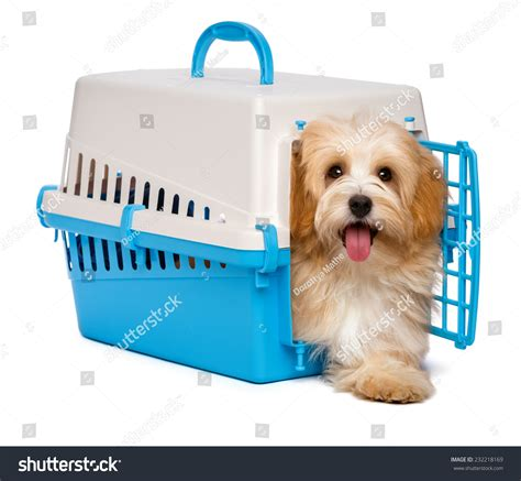havanese crate happy reddish havanese puppy is inside a blue and gray pet crate and step out