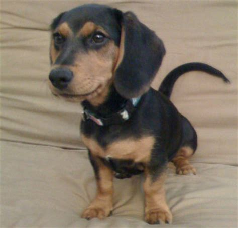 doxle puppies for sale doxle beagle and dachshund mix