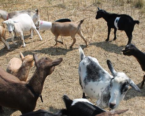 theme names for goats antiquity oaks when good goats go bad