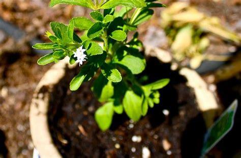stevia coltivazione in vaso guida alla coltivazione della stevia