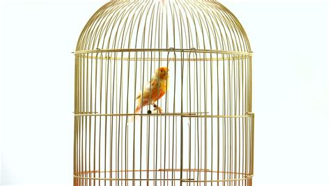canary bird cage stock photos canary bird stock footage video shutterstock