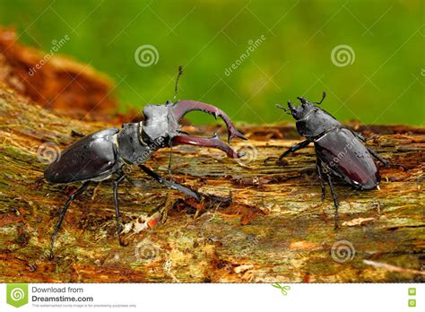 insetto cervo volante and famale of insect stag beetle lucanus cervus