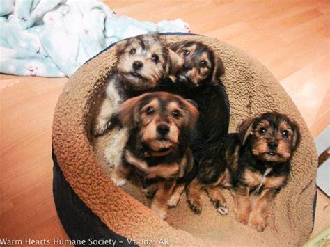 chiweenie yorkie mix chiweenie yorkie mix puppies search animals puppys yorkie