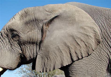 dsc08058 elephant ear a photo on flickriver